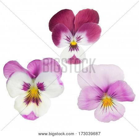 set of pansy blooms isolated on white background