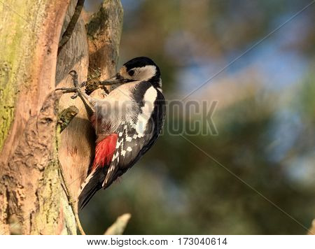 Great spotted woodpecker in a tree - Dendrocopos major