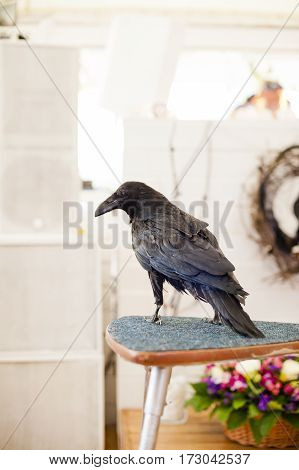 beautiful black crow sitting on a chair