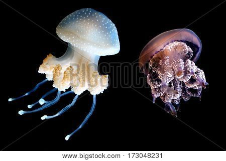 Jellyfish or jellies softbodied free-swimming aquatic animals on black background
