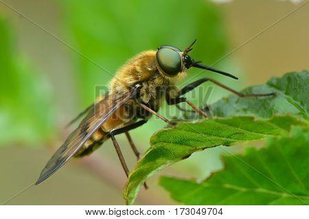 pale giant horse-fly outdoor (tabanus bovinus)