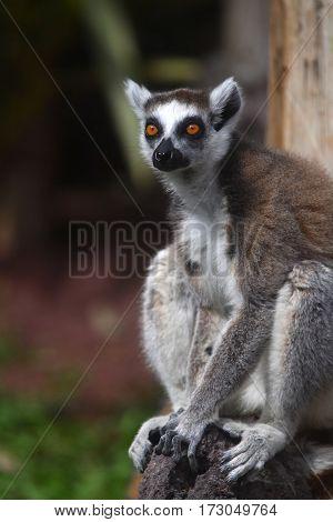 lemur monkey close up portrait