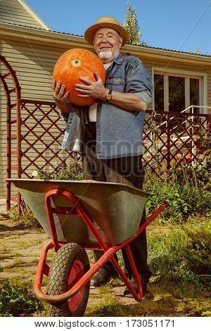 Happy senior man gathering harvest of pumpkins in the garden. Sunny autumn day.