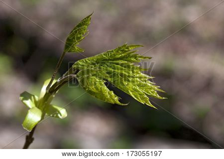 The close-up of young leaves in the spring