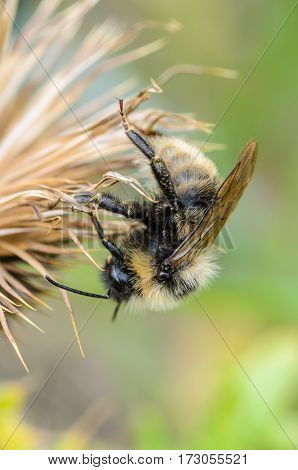 Bumblebee gets a night of dried flower of sow-thistle