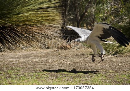 this is a close up of a sea eagle landing