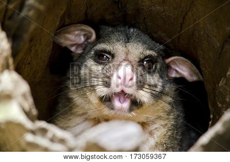 this is a close up of a ring tailed possum