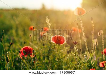 A field of poppies against the setting sun