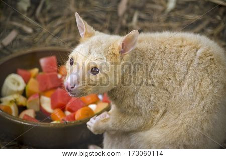 the ring tailed possum is eating fruit salad