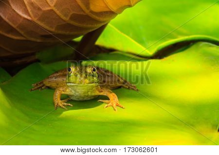 A frog resting in the shade under a lilypad while looking at the camera.