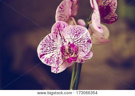 Spotted Phalaenopsis
