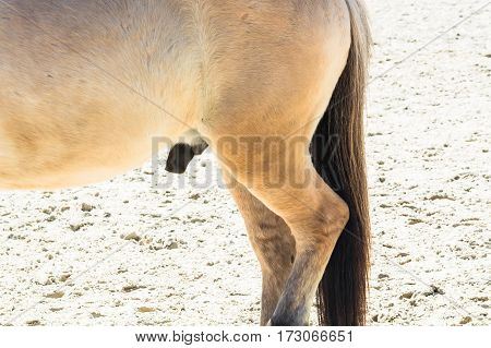 Reproductive Organ penis of a small horse pony
