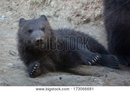 Newborn Kamchatka brown bear (Ursus arctos beringianus), also known as the Far Eastern brown bear.