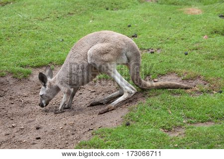 Red kangaroo (Macropus rufus). Wildlife animal.