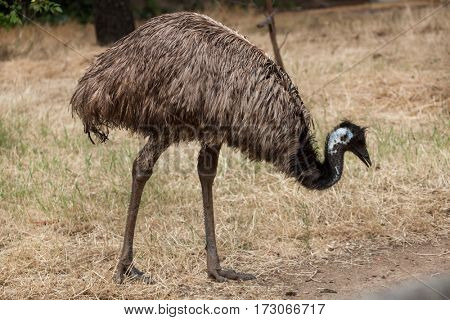 Emu (Dromaius novaehollandiae). Wildlife animal.