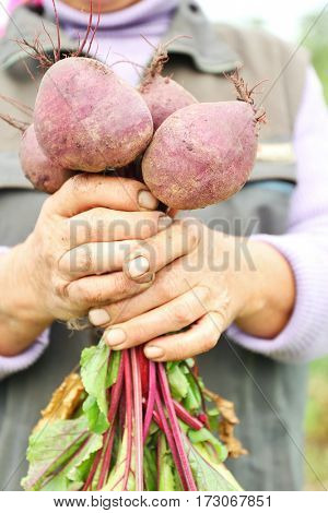 Freshly picked beetroots in old hands