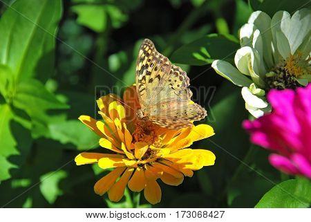 Butterfly on zinnia flower in rural flowerbed