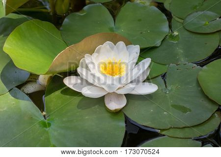 Beautiful water lily in water. Nymphaea alba
