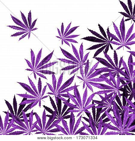 Purple violet Cannabis leaves on white background. Hand drawn watercolor illustration of the plant Cannabis Sativa or Marijuana. Pattern with marijuana leaf for label poster web.