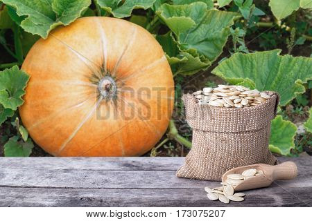 pumpkins seeds in canvas bag on wooden table with ripe pumpkin in garden on the background. Pumpkin with seeds