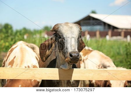 Cows on blurred dairy farm background