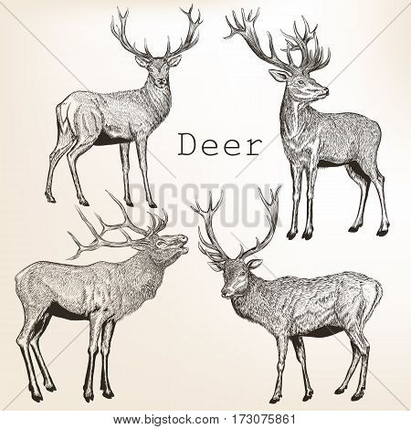 Collection of vector vintage styled engraved hand drawn deer animal hunting season