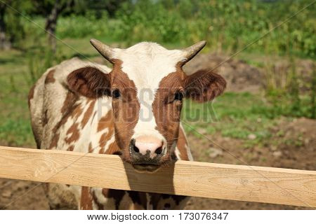 Cow on the farm behind fencing