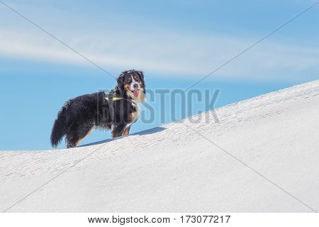 Dog Bernese Mountain Dog In The Snow In The Mountains