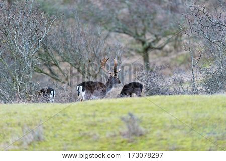 Fallow deer stag walking towards bushes. National park Amsterdamse Waterleidingduinen.