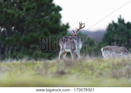 Fallow Deer Buck In Field With Tall Grass.