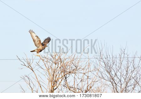Birds of prey - Common Buzzard (Buteo buteo)