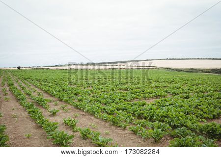 View of green plantation in the field on a sunny day