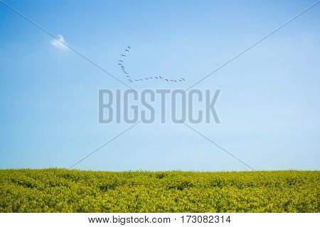 Flock of bird flying over field on a sunny day