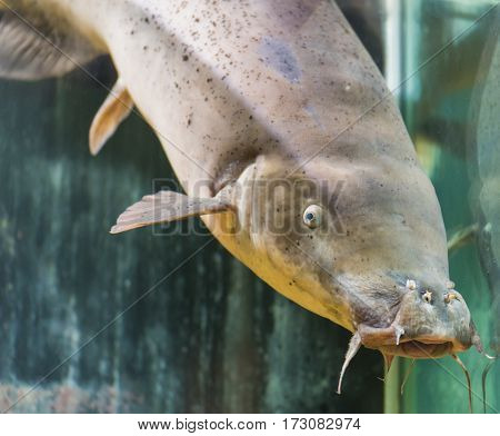 Electric Catfish In Aquarium Tank