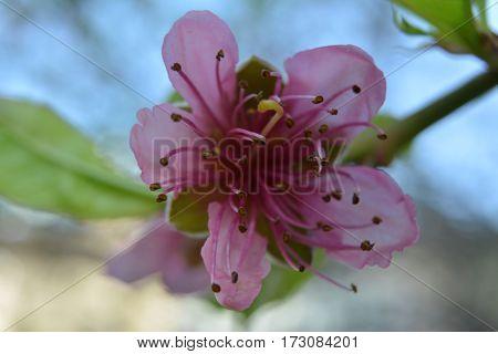 delicate peach blossom on blue sky background