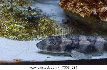 Brownbanded Bamboo Shark In Aquarium Tank