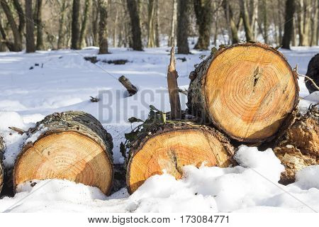 Pile of felled wood logs in the snow in winter forest