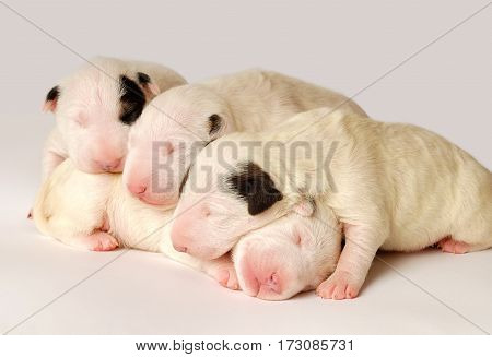 Miniature Bull Terrier Puppies, 10 days old, lying in side over white background