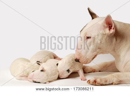 Miniature Bull Terrier Puppies With Mom, 10 days old, lying in side over white background