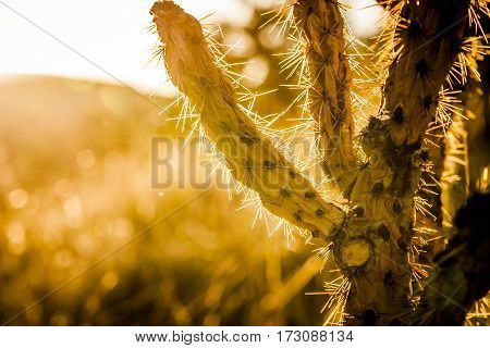 Backlit Cholla Cactus In The New Mexico Desert