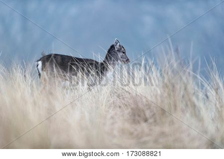 Fallow Deer Calf Walking Through Tall Yellow Grass.