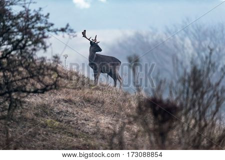 Fallow deer stag standing on a slope.