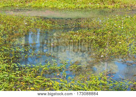 image of Wild morning glory in waste water stream day time