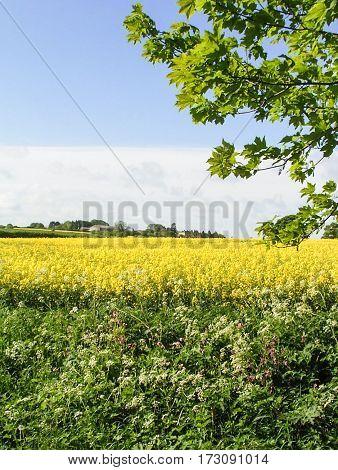Scenic Lincolnshire Wolds Yellow Spring Crop Field