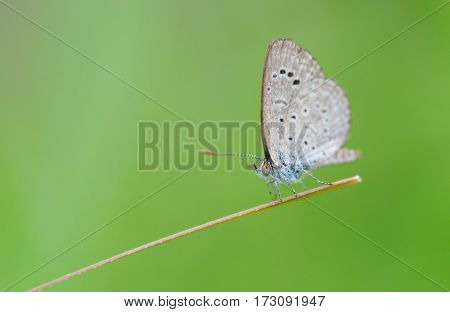 a beautiful spring azure butterfly perched on a grass blade