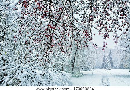 Snowfall in the city park. Snow-covered branch of wild apple tree with red fruits at foreground and footpath leading off to fir trees