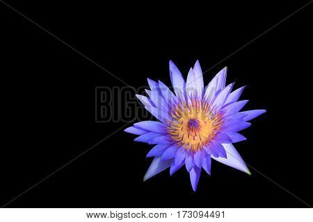 lotus water lily flower purple beautiful isolated on black background and clipping path