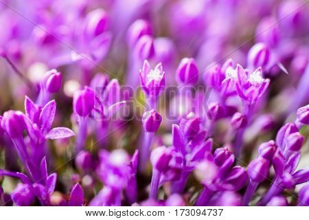 Beautiful natural floral background, small little lilac flowers, selective focus. For backdrop, substrate, composition use. Concept of vivid moments life.