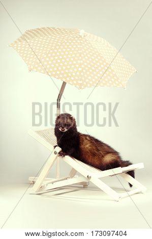 Ferret portrait on beach chair in studio