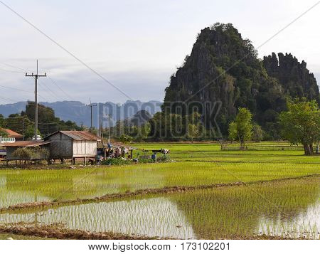 Landscape of a wet rice field a small hut and a karst mountain hill in a mountainous scenery with blue sky and wonderful view